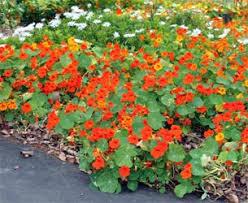 nasturtium flowers nasturtium tropaeolum majus master gardener program