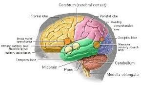 Brain Stem Anatomy Human Anatomy Brain Function Brain Anatomy Pictures Brain