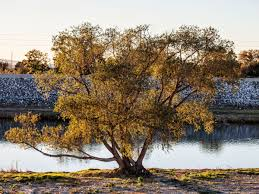 brown tree the deaths of millions of california trees endanger the lives of