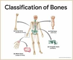 Skeletal System Anatomy And Physiology U2022 Nurseslabs