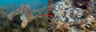 Color Blind Camouflage Secrets Of Cephalopod Camouflage Science Friday