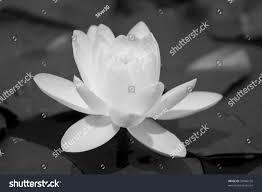 black white water lily beautiful flower stock photo 33466105