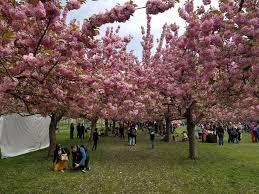 sakura matsuri cherry blossom festival at brooklyn botanical