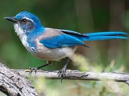 california blue california scrub identification all about birds cornell