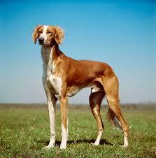 belgian shepherd x greyhound saluki dog breed information pictures characteristics u0026 facts