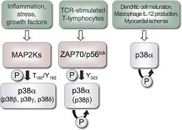 mechanisms and functions of p38 mapk signalling biochemical journal