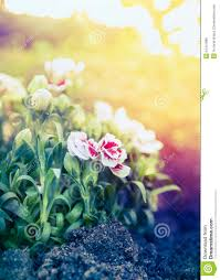 pretty carnation flowers in sunset light in garden bed stock photo
