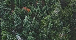 tree symbolism pine tree symbolism information and planting instructions