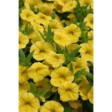 yellow flowers proven winners superbells yellow calibrachoa live plant yellow