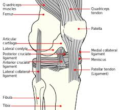 Anatomy Of Knee Injuries Medial Knee Injuries Wikipedia