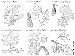 maple tree symbolism southern forager urban foraging food in plain sight foraging