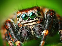 37 best cute jumping spiders images on pinterest jumping spider