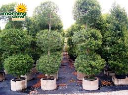 Topiary Plants Online - topiary morning dew tropical plants