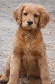 Comfort Retriever Puppies For Sale 15 Best Miniature Golden Retriever Images On Pinterest Golden