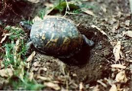 u s box turtles by michael j connor cttc