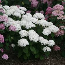 Hydrangea by Hydrangea Plants For Your Perennial Shade Garden