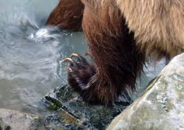 grizzly claws grizzly dips toes in water provides reminder of human frailty