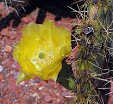 desert flower desert flower names free download free photo desert cactus rose