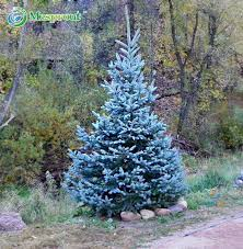 get cheap blue spruce seeds picea aliexpress alibaba