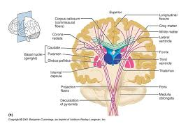 Pyramids Of The Medulla The Human Brain Master Watermark Image Ppt Download
