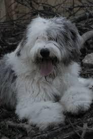 affenpinscher webster s 9 best old english sheepdogs images on pinterest