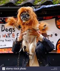 Lion Halloween Costumes Dogs London Uk 25th October 2015 Dogs Dressed Halloween