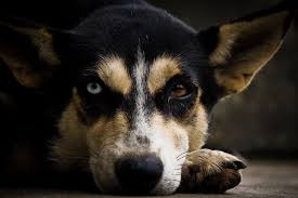 Pictures Of Blind Dogs Blind Dog Eyes Pictures To Pin On Pinterest Pinsdaddy