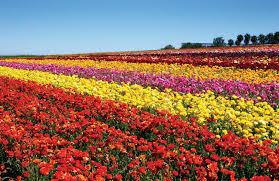 san diego florist san diego flower fields flowers