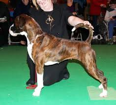 boxer dog crufts 2015 boxer stud dogs results