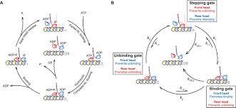 Lax Gate Map Examining Kinesin Processivity Within A General Gating Framework
