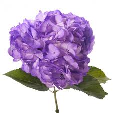 purple hydrangea purple hydrangea hydrangea types of flowers flower muse