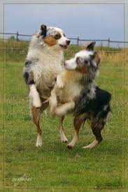 a mini australian shepherd akc mini and others page 2 the aussie board