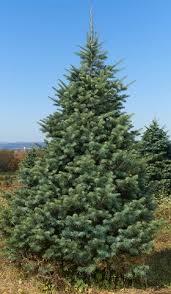 wholesale cut fir trees brown s tree farm