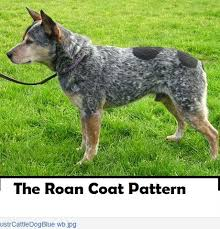 c c australian shepherds louisiana dog coat patterns daily dog discoveries