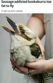 Meme Bird - sausage addicted kookaburra birbs know your meme
