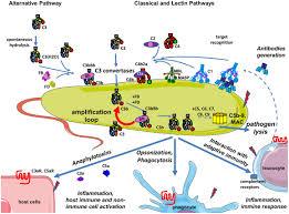 frontiers complement system part i u2013 molecular mechanisms of