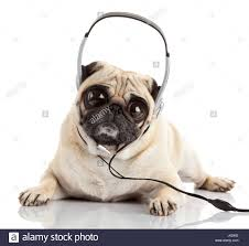 dog listening to music pug dog with big eyes isolated on white