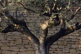 how to spray an olive tree to not make olives home guides sf gate