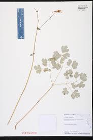 Edd Maps Aquilegia Canadensis Species Page Isb Atlas Of Florida Plants