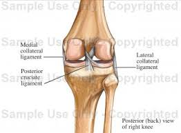 Right Knee Anatomy Posterior Knee Ligaments Medical Illustration Human Anatomy