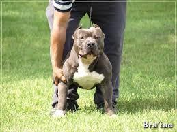 american pitbull terrier gator best 25 pitbull pictures ideas on pinterest pitbull dog