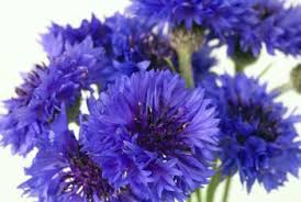 bachelor buttons what is the difference between a cornflower a bachelor s button