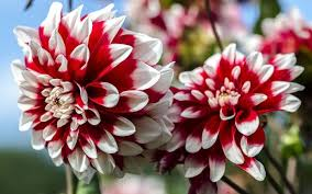 dahlias how to plant grow and care for dahlia flowers the