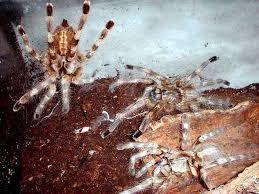 poecilotheria theraphosids tarantulas of the world keeping