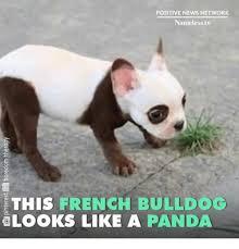French Bulldog Meme - positive news network nameless v this french bulldog looks like a