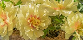 yellow peonies all about itoh peonies