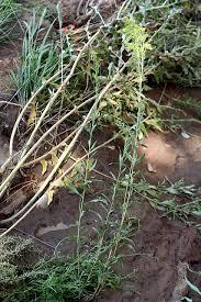 vascular plants of the gila wilderness vascular plants of the gila wilderness solidago gigantea