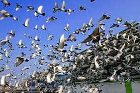 after tens of thousands of pigeons vanish one comes back