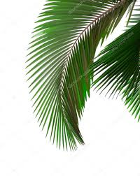 leaves of palm tree u2014 stock photo khuang 1867510