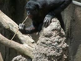 siege social bonobo war for the planet of the apes wikivisually